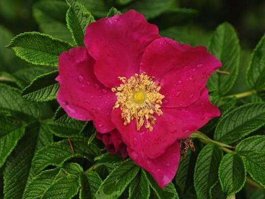 a japanese rose flower