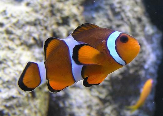 The common clown fish