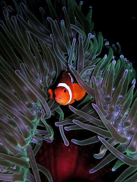 Clown fish A. ocellaris in Heteractis_magnifica anemone.  The facts of how it is immune to the anemone's stings are not fully understood.