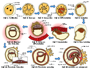 stages of human embryogenesis