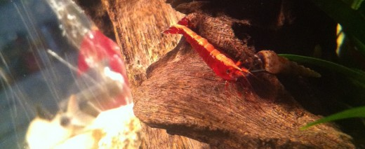 Adult female red cherry shrimp