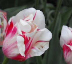Pictures of The Ottawa Tulip Festival