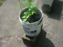 Cheap Planters for Tomatoes