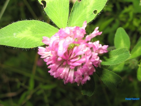 A common volunteer in the yard as well as just about anywhere, red clover flowers can be crushed and used to soothe bug bites and stings.  Leaves and flowers can be boiled and eaten.  Sometimes used with liver tonics and other cleansing formulas.