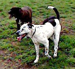Here are my Freckles & my Hazle.  Both were mixed breed, American Bulldog type rescue dogs. They were two of the best dogs I ever had.  Both were short-haired, intelligent, highly trainable, calm dogs  worthy of the title First Dog!