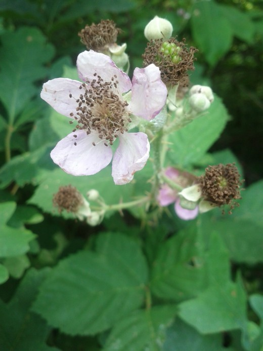 The black berry, a dicot, loses its blooms when the fruit, or ovary starts to grow.