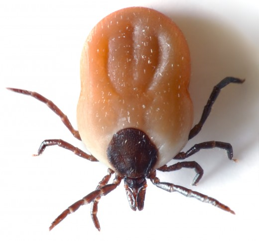 Photo of Tick by André Karwath