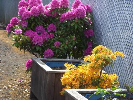 A beautiful yellow azalea