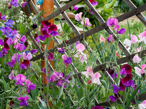 Trellis with Sweet Peas