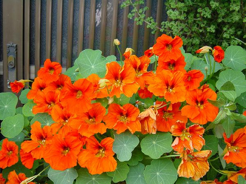 Nasturtiums, Granny Madge's favorites