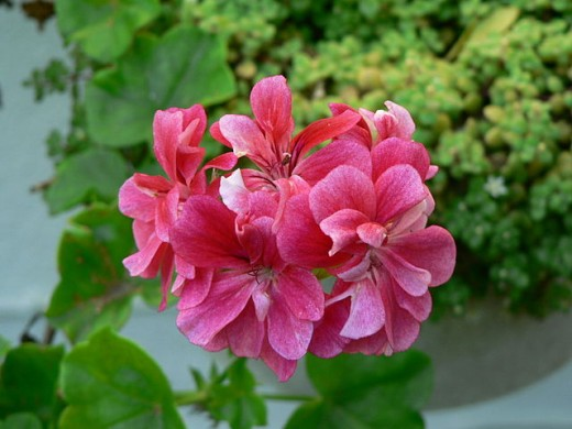 Pelargonium, dark pink