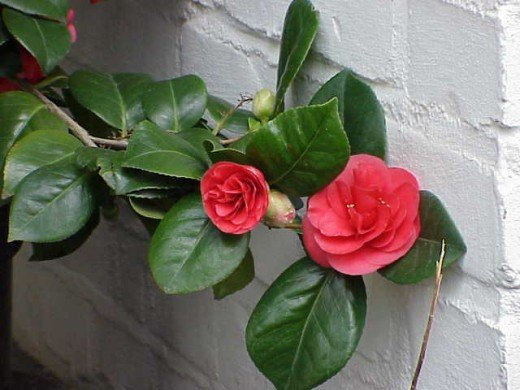 Camellia Japonica (Red)
