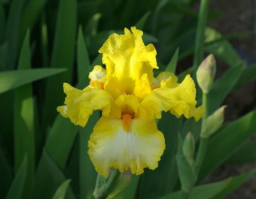 Gold Ring Iris