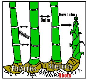 Asexual reproduction in plants rhizomes bamboo