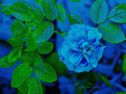I changed a pink rose into a blue one with a photo filter, then digitally painted it for more impact.