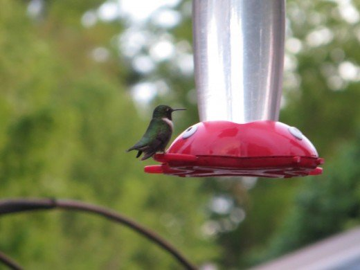 Humming bird sitting at the feeder.