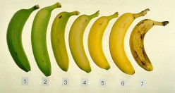 Why can't we hand pick bananas?