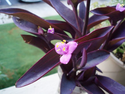 The beautiful deep colors of the purple heart is easily paired with other plants.
