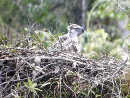 philippine eagle lays and hatches an only egg which the couple share in the incubation process.