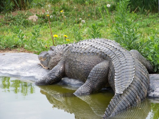 On warm days, the alligator will bask in the sun. On cooler days, the alligator stays in the water which is warmer.