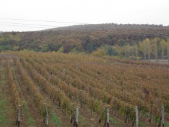 Vineyard in Eger