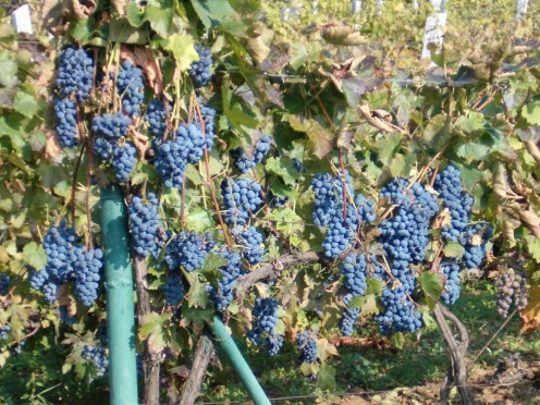 Wine Grapes in Eger
