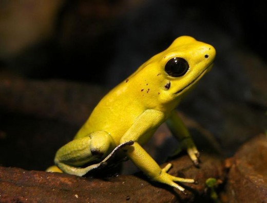 Despite its small size, this little frog contains enough venom to kill up to 100 people.