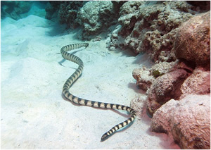 Out of all the sea snakes, the beaked or common sea snake is the most dangerous in terms of fatalities.