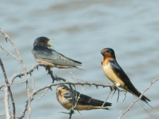 Barn Swallows with Bank Swallow
