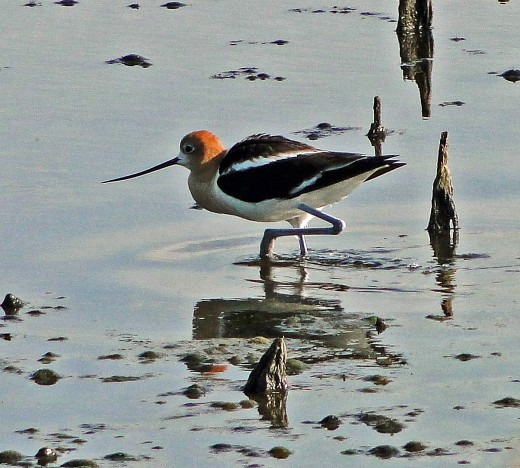 Our first 'big tick' at Cheyenne Bottoms. American Avocet
