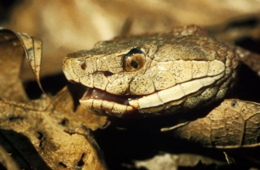 Notice the cat like eyes? The extra hole that looks like a second nostril called a pit?  The triangular shape of the head? This is a venomous snake.