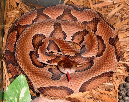 This is a copperhead sticking his tongue out at you. Some 'Scientists' might tell you that they use their tongue as a sensory organ... but I think he may just sticking his tongue at you to taunt you in to a fight!
