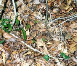 Can you see me? The copperhead's camo is top of the line. They can be very hard to spot in their preferred domains.