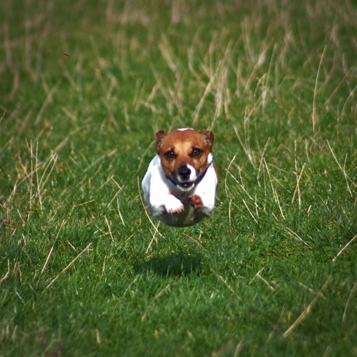 Flying Jack Russell