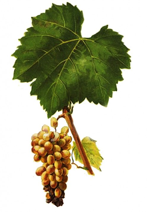 Furmint Grape used for Tokaj Wine