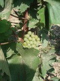 Harslevelu Grapes used for Tokaj Wine
