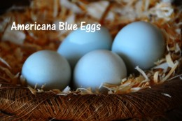 Americana Eggs, the blue laying egg chicken