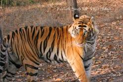 How to organize a tiger safari in Kanha National Park?
