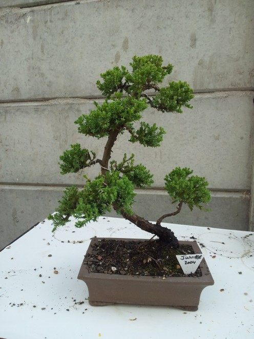 The Juniper (2004) is one of my favourite bonsai trees I own.