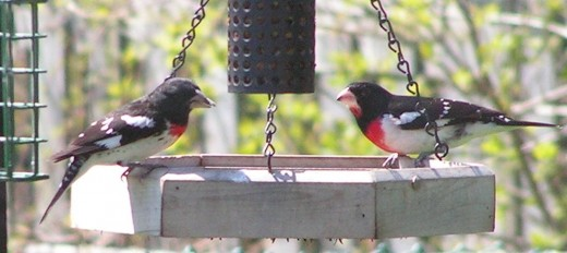 A pair of Rose-breasted Grosbeaks