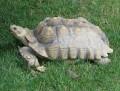 Giant Tortoises: The Sulcata Tortoise or African Spurred Tortoise