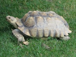 Giant Tortoises: The Sulcata Tortoise or African Spurred Tortoise