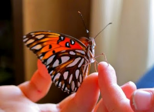 Newly emerged Gulf Fritillary Butterfly
