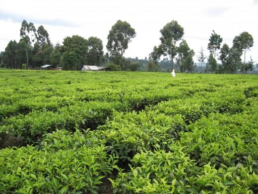 Kenyan Tea Plantation