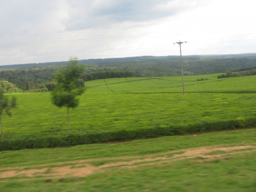 Kericho, Kenya - Tea Plantation