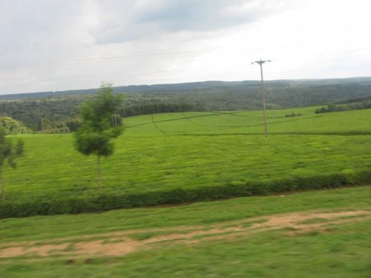Kericho, Kenya - Tea Plantation