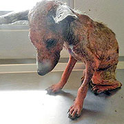 Shiver, a puppy who since his rescue by SDF has been able to recover.