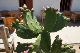 Prickly Pear Cactus, Old Town