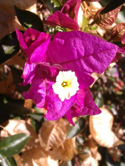Bougainvillea - the beautiful colour of the Bracts contrast with the mundane, petite, true flower in the middle.