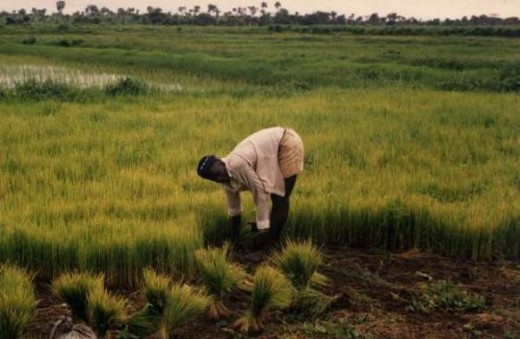Rice farming in Sierra Leone